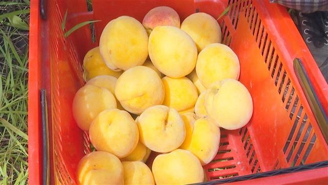 黄桃熟了  村民富了