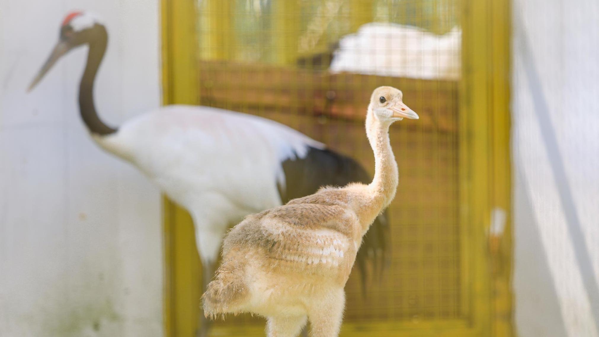 5只丹頂鶴寶寶降生武漢動物園