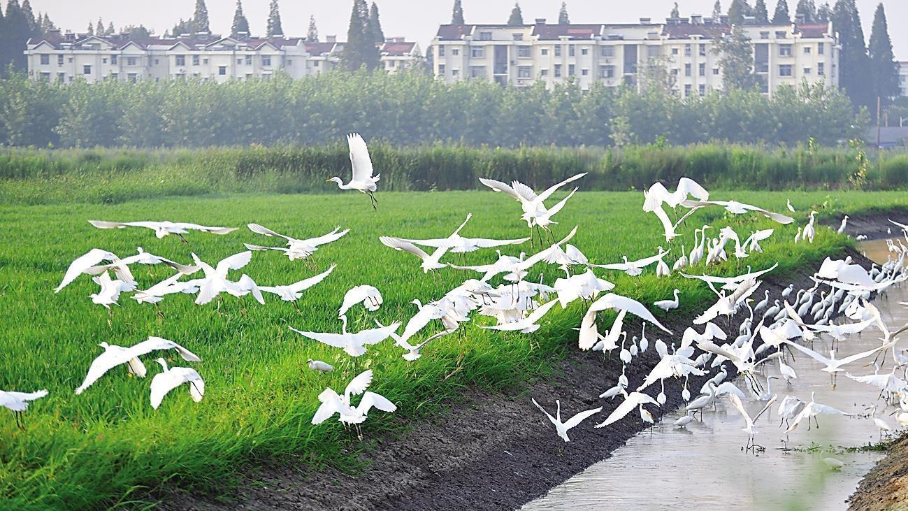 2万亩稻田引来300多种鸟类