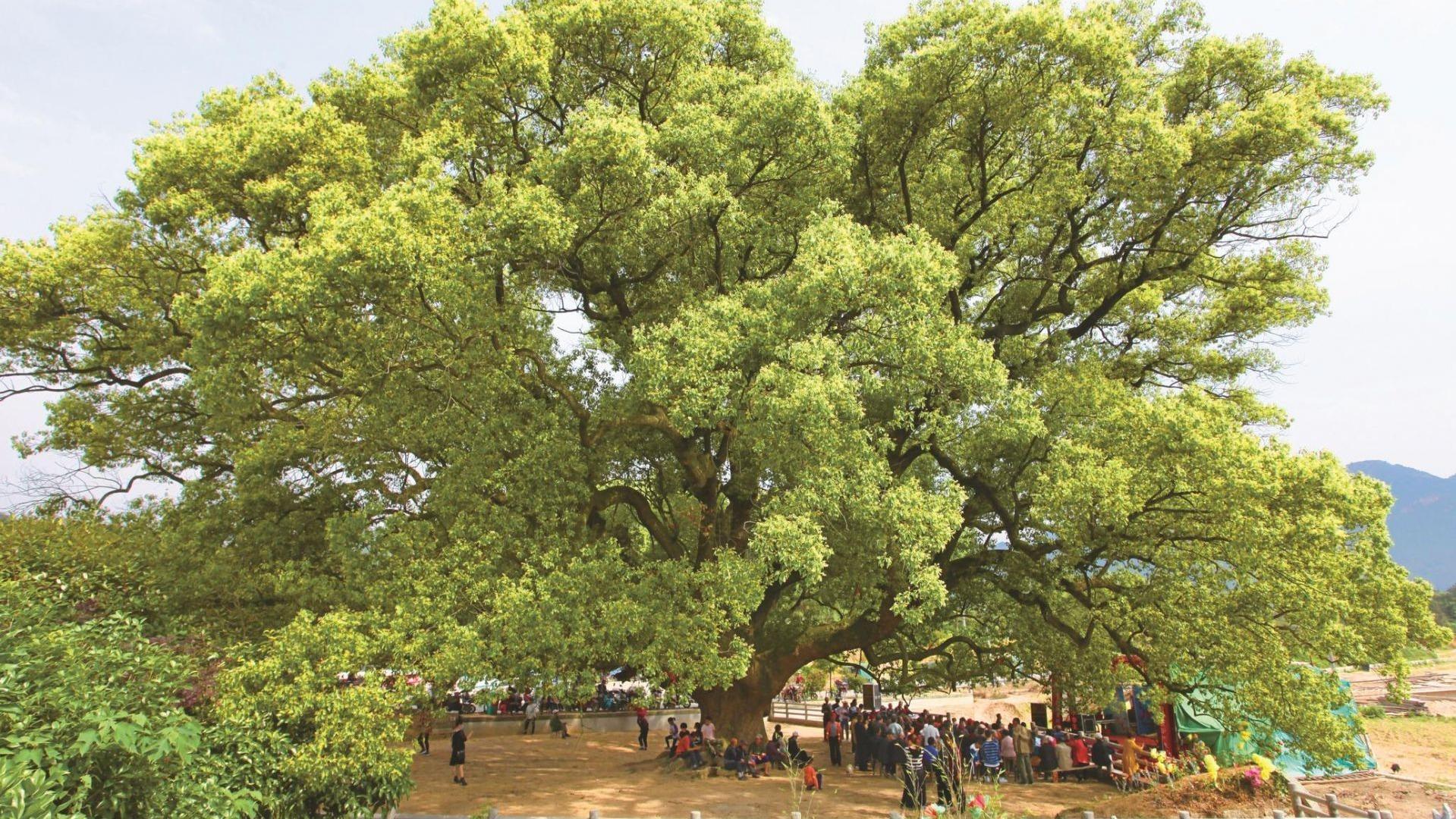 湖北首秀五大树王和十大最美古树