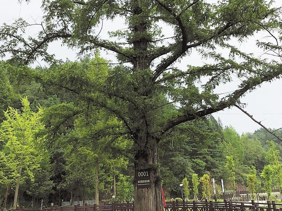 """湖北有了""""十大最美古树"""""""