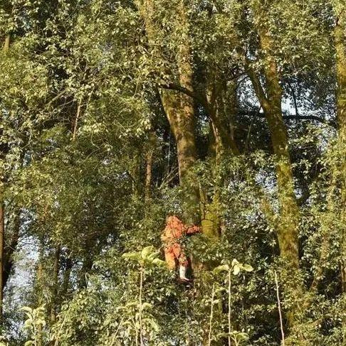 男子摘马蜂窝,被挂在30多米高的树上不幸身亡