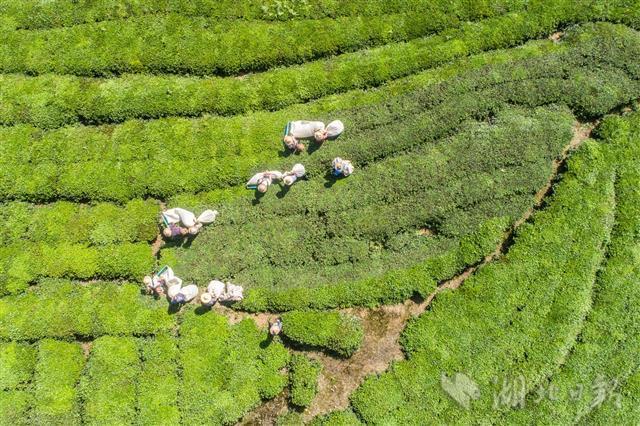 机采秋茶 助农增收
