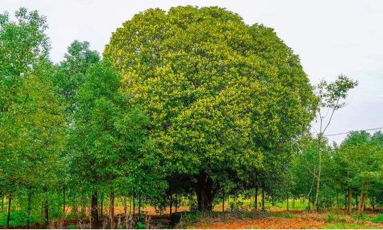 武汉最老和最大的桂花树都在这个区