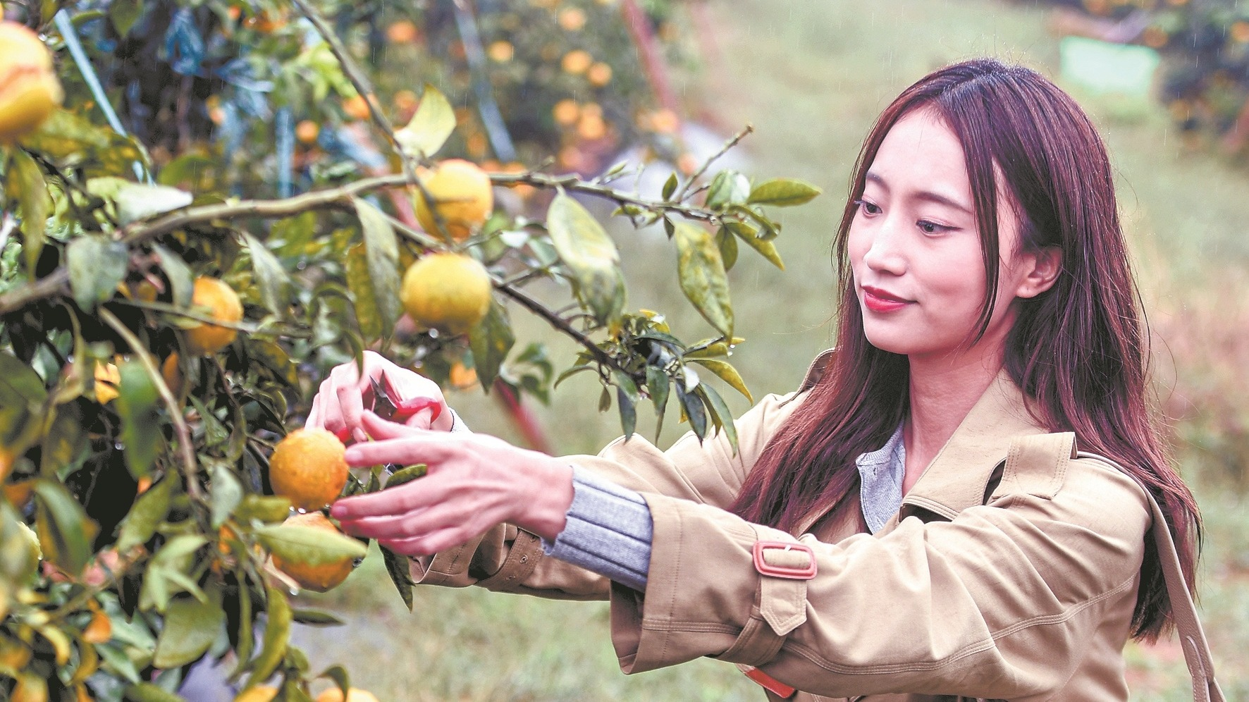 江夏柑橘熟了
