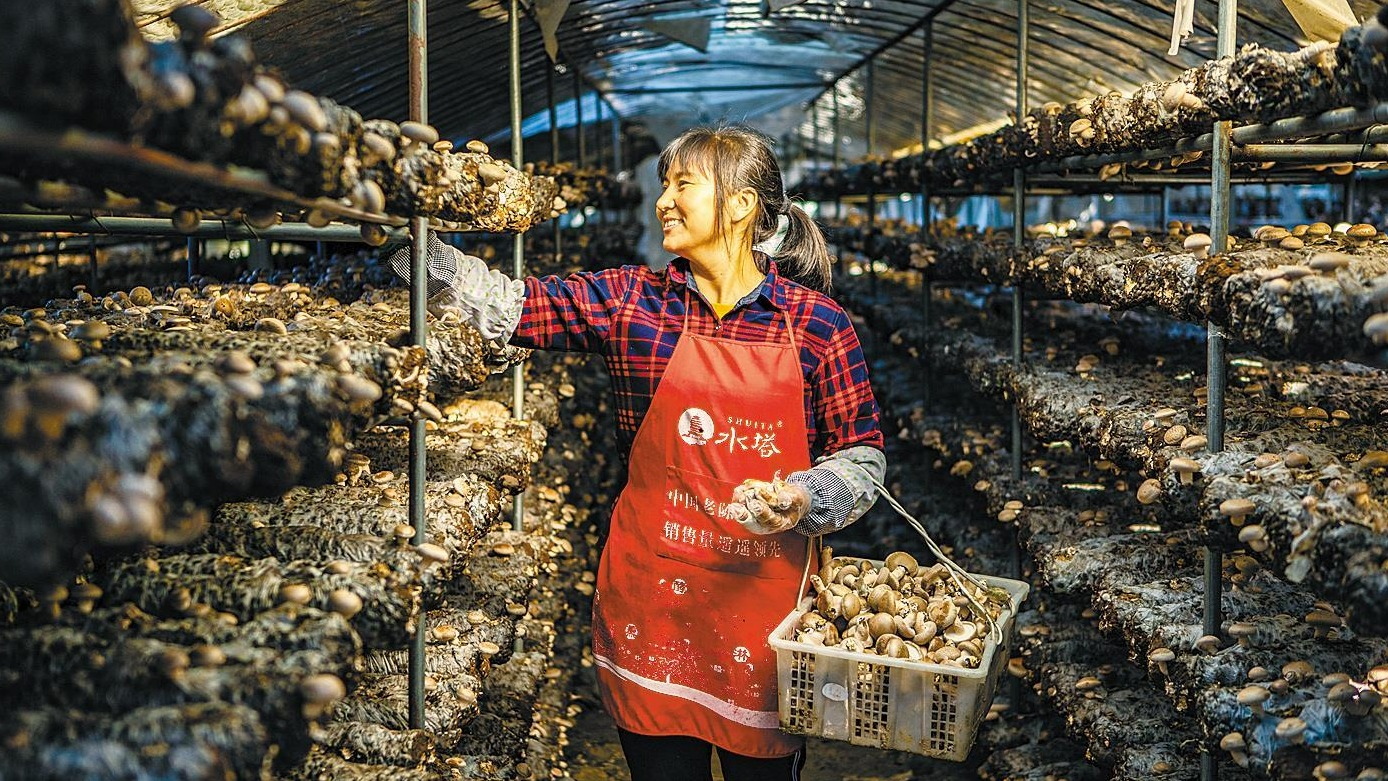 竹山食用菌丰收