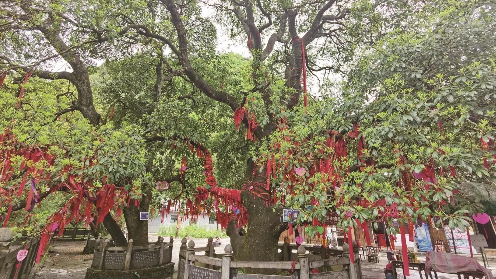 湖北散生古树中银杏阵容最庞大
