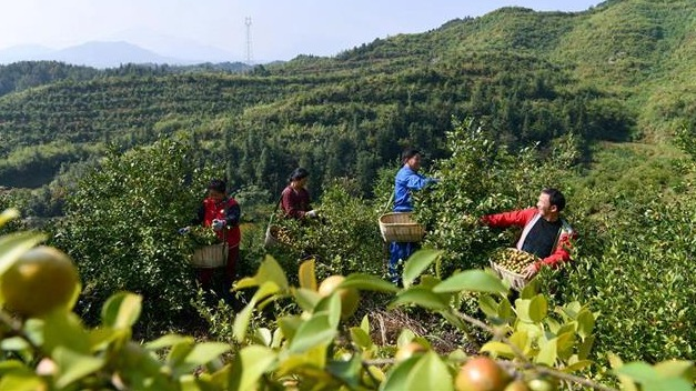 通城30萬畝油茶豐收