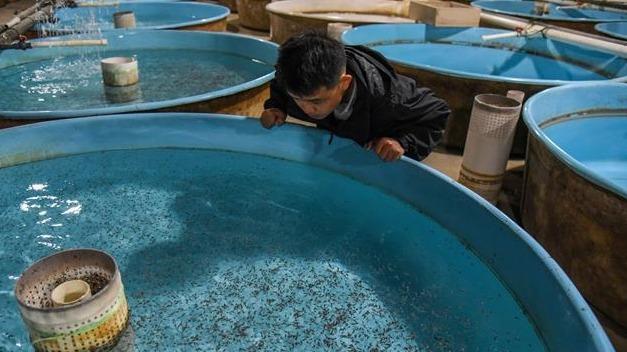 今年首批10万尾全人工繁育中华鲟成功孵化
