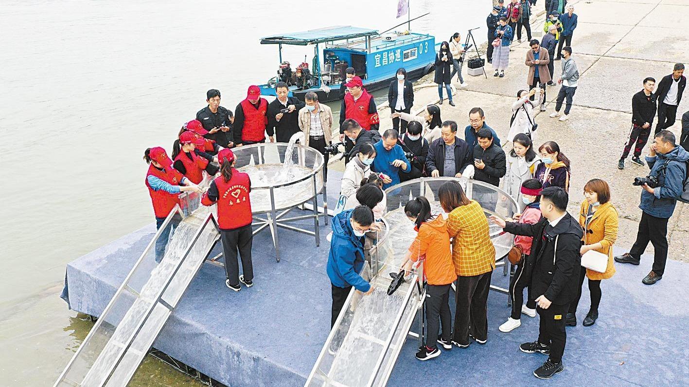 3万余尾珍稀鱼类放流长江