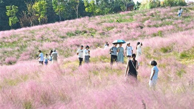 江城市民游客打卡光谷粉黛乱子草海