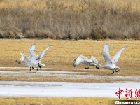 甘肃敦煌湿地越冬候鸟翩跹起舞