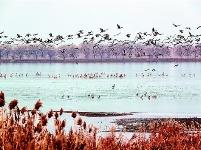 府河成为候鸟乐园