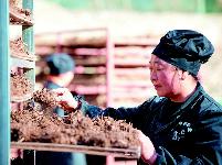 种植药材脱贫增收