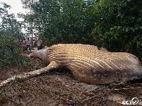 """座头鲸尸体""""空降""""巴西亚马逊丛林 如何上岸令专家困惑"""