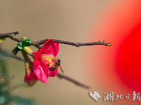 湖北秭归:海棠花开闹新春