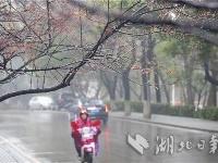 武汉大学早樱绽放