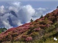十里杜鹃满山红,神农架高山杜鹃的清新之旅
