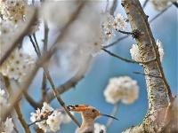 湖北宜昌:漫山樱桃花开白如雪