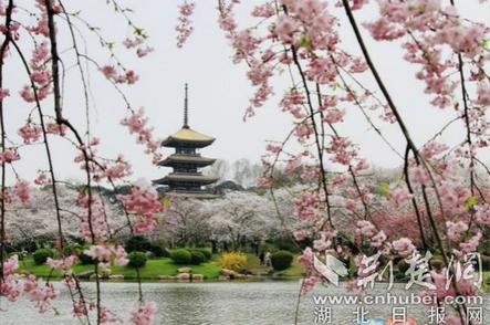 武汉东湖樱花园早樱中樱齐绽放 本周末将迎来盛花期