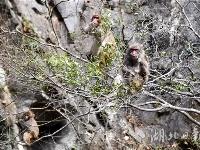神农架首次在阳日镇武山湖发现野生猕猴