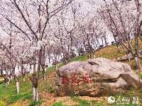 武汉赏樱又一去处!汤逊湖畔近千株樱花盛放