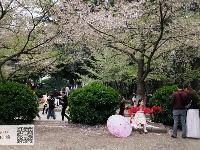 万人同赏樱花雨