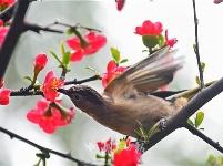 湖北夷陵:鸟戏海棠花丛间