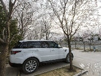樱花妆点武汉最美停车场