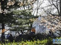 """纽约中央公园""""探春"""""""