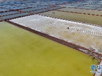 长芦盐区收获春盐