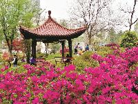 青山公园10万株杜鹃免费迎客