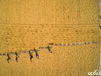 """航拍孟加拉农民烈日下翻晒稻谷 大地穿上黄色""""条纹衫"""""""