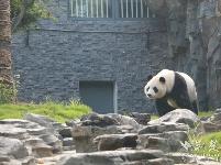 武汉动物园喊你看大熊猫啦,明天约起!