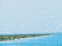 湿地保护引来万鸟翔集 10万亩野莲重现洪湖