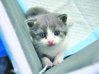 我国首只自主培育的克隆猫今天满月了