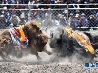 牦牛间的决斗