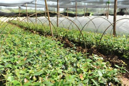 油茶飘香致富乡邻   湖北新造油茶林22万亩