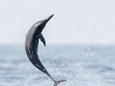 美研究称海豚抗生素耐药性日增 海洋生态引担忧