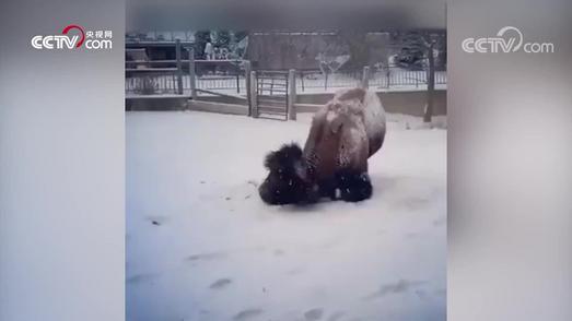 肌肉猛牛雪地健身