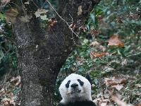 """旅美大熊猫""""贝贝""""回到四川"""