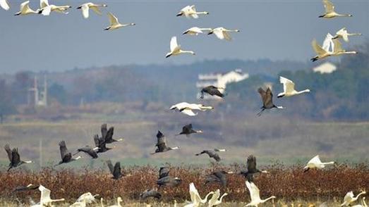 它们也为好生态点赞!来湖北越冬候鸟种群数量逐年增加