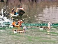 千余只鸳鸯飞抵漳河 漳河流域成亚洲最大的鸳鸯越冬地