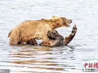 """两头棕熊化身""""摔跤手"""" 水中上演激烈对决"""