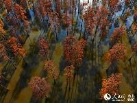 """初冬 武汉""""水上森林""""别样红"""
