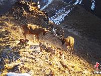 国际生物多样性日:黄河源地区记录到多种野生动物
