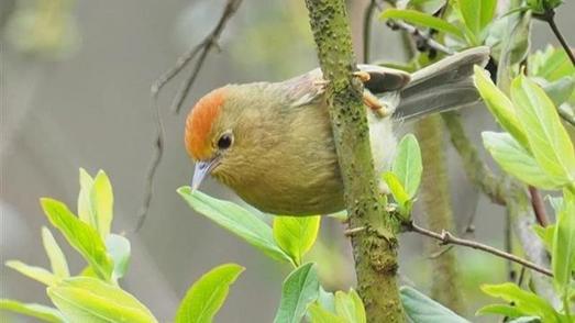 道观河风景区发现红头穗鹛 为武汉市第425个鸟类新记录