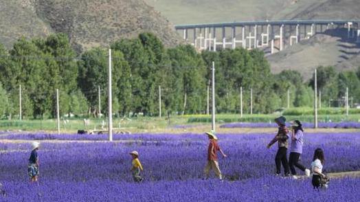 西藏百畝薰衣草花海綻放引游人