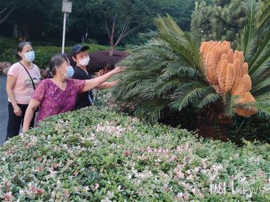 罕見!王家墩公園一株鐵樹開了30朵花