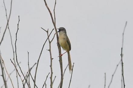 武汉发现黄腹山鹪莺!第429个鸟类新记录产生